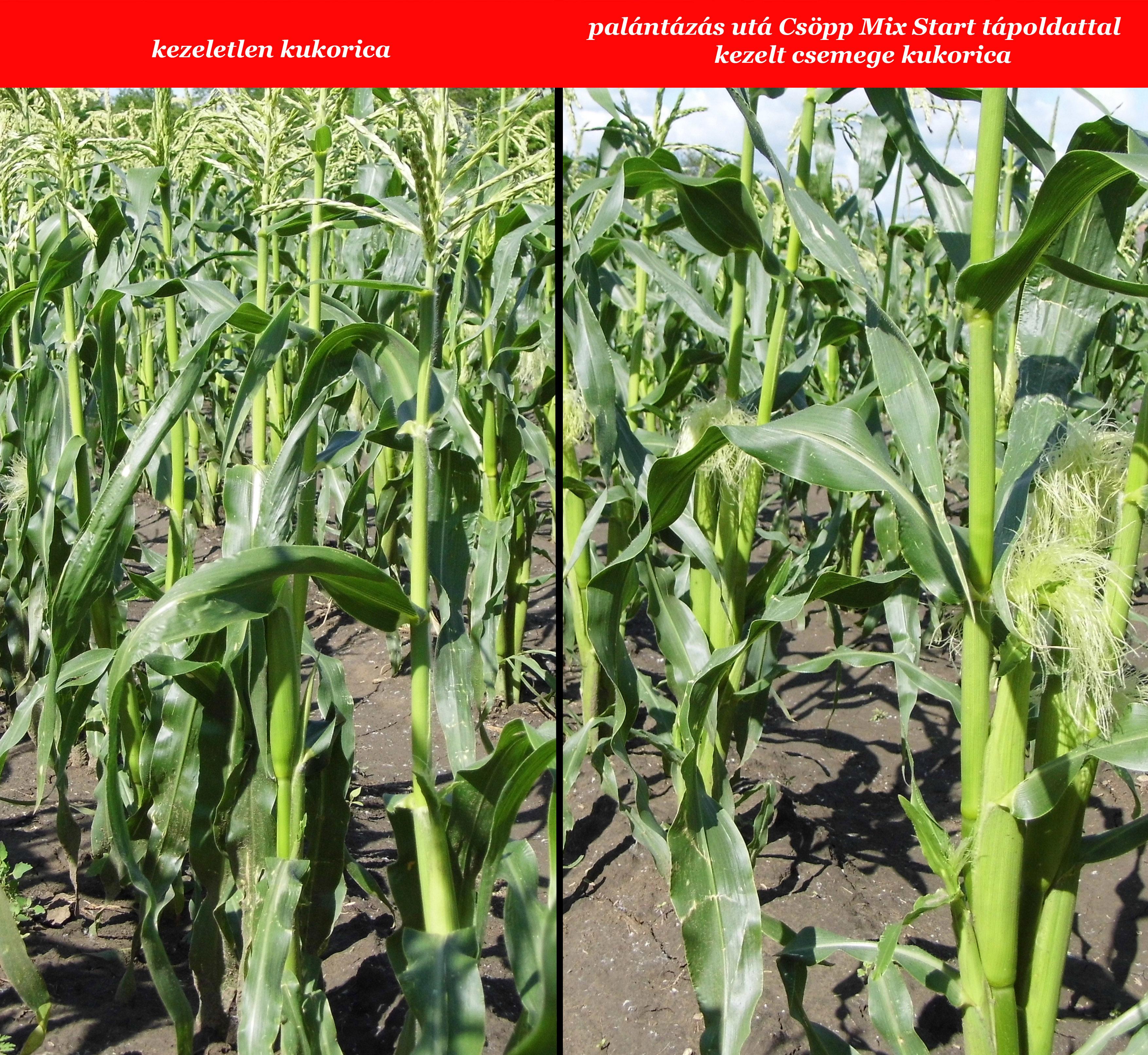 Kezelt és kezeletlen kukorica