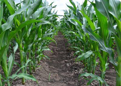 kukorica Alap 2014
